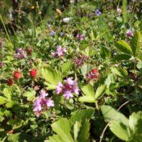 Alpenblumen & Erdbeeren am Wegrand